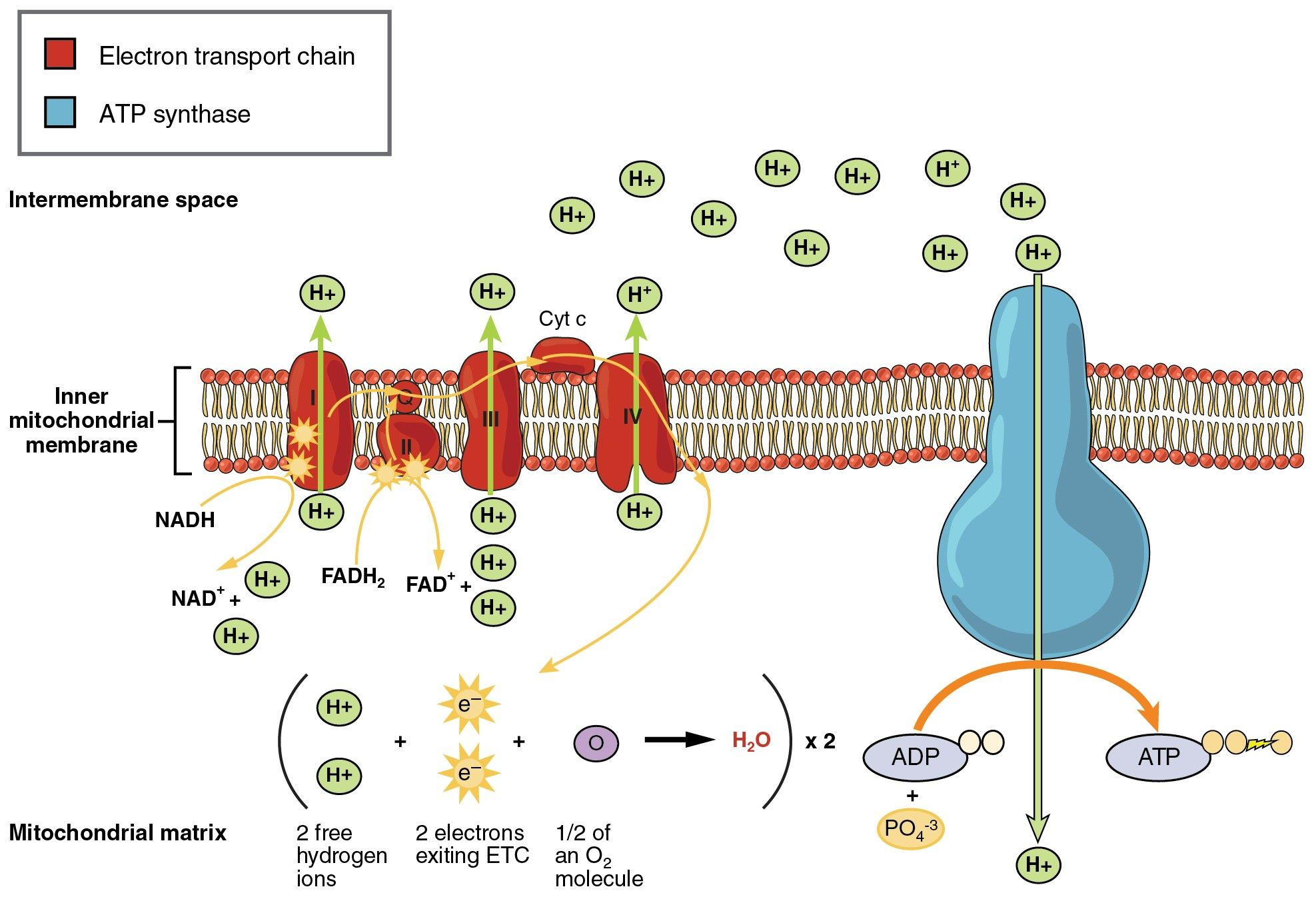 Idea by Sarah North on Biochem Electron transport chain
