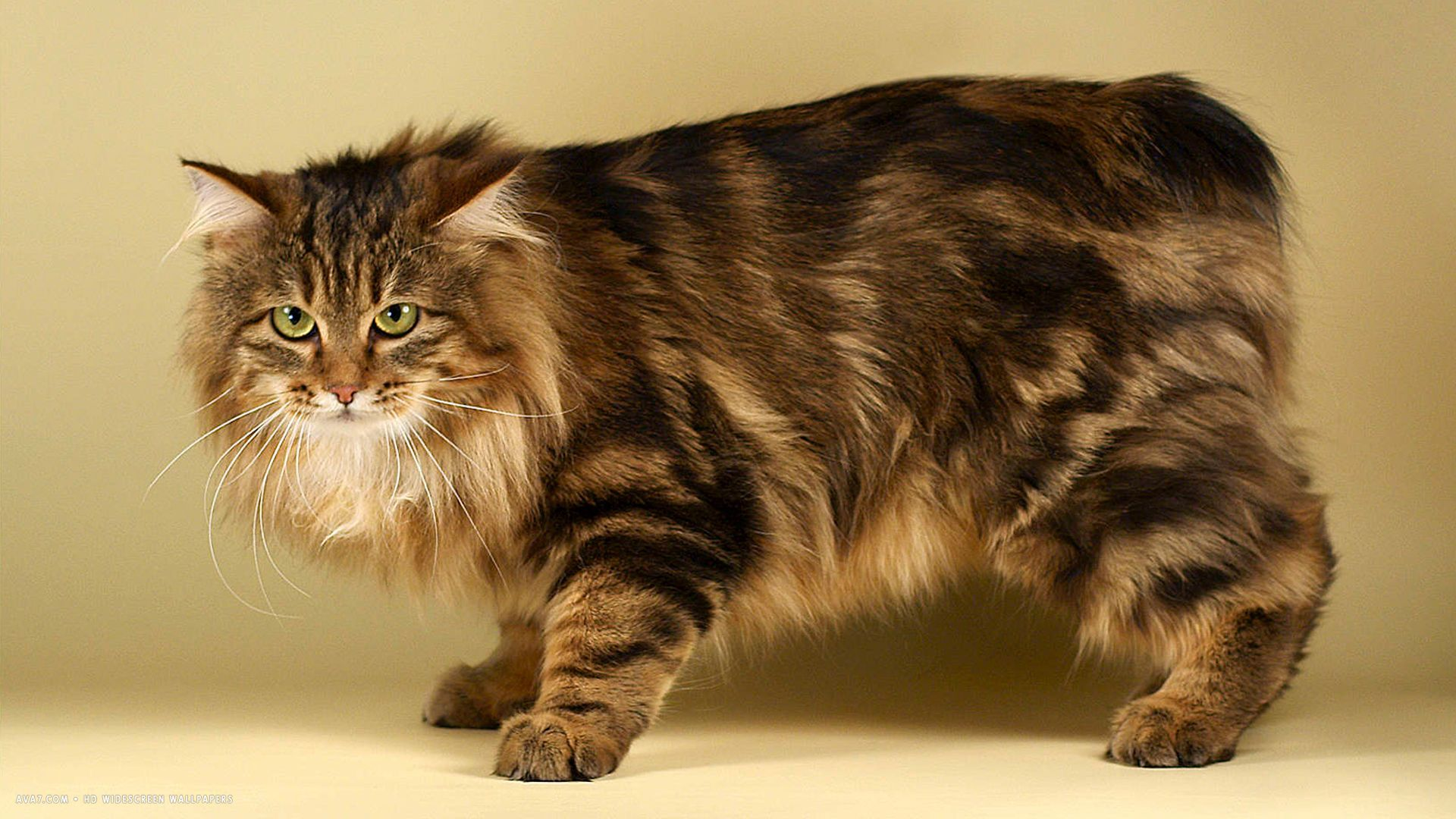 Kurilian Bobtail Black Hair Brown Hair Kurilian Bobtail Cat Wallpapers Cat Breeds Bobtail Cat Rare Cats