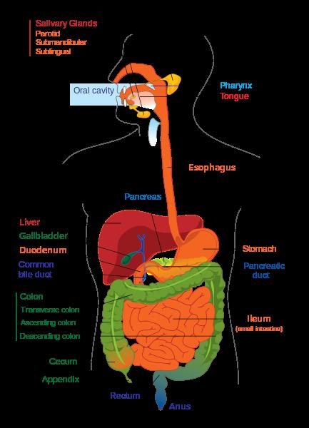 Digestive system ks2 sheet