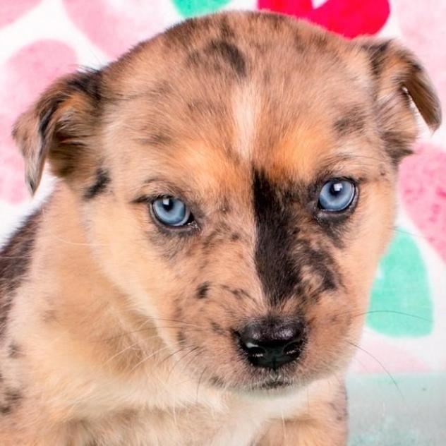 Adopt Elena On Animal Rescue Labrador Retriever Mix Dogs