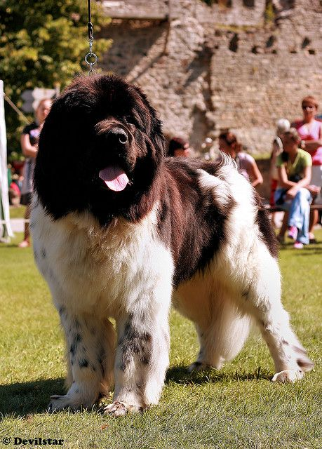 Landseer Newfoundland One Day I Will Have A Landseer When I