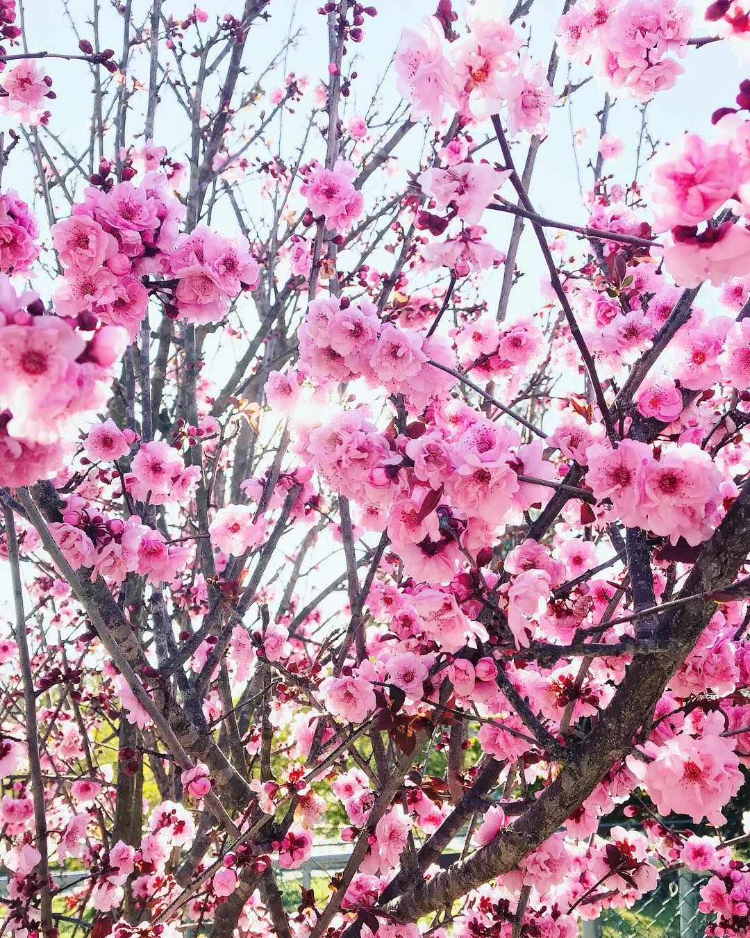 Cherry Blossoms Are Here Check Out The Cherry Blossom Festival March 18th Thru The 24t San Diego Photographer San Diego Wedding San Diego Wedding Photographer