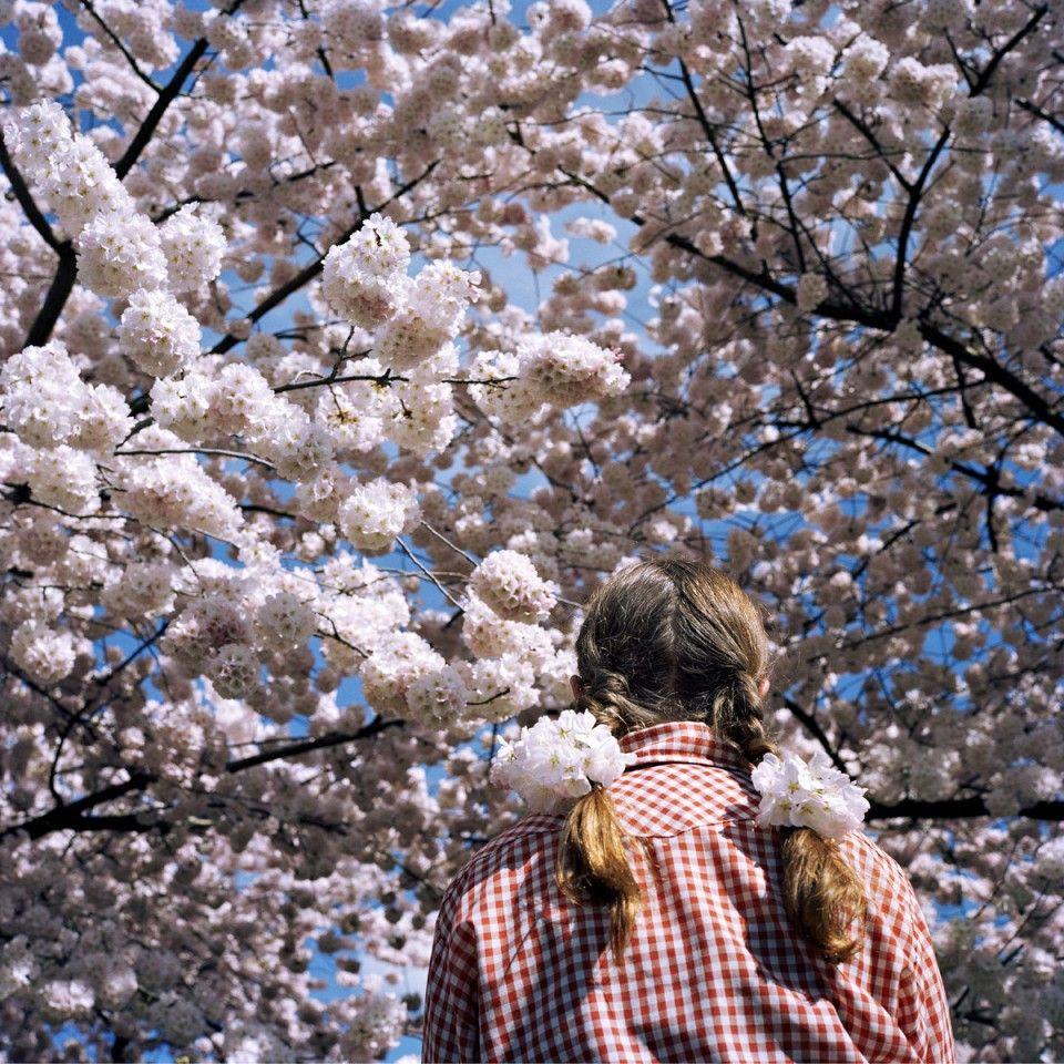 25 Years Of Cherry Blossoms Exhibit Honors Trees Japanese Roots Cherry Blossom Cherry Blossom Tree Blossom