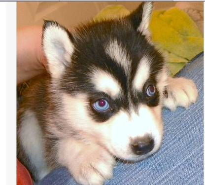 Pure Bred Huskie Puppies Cute Puppies Dogs Puppies Husky Puppy