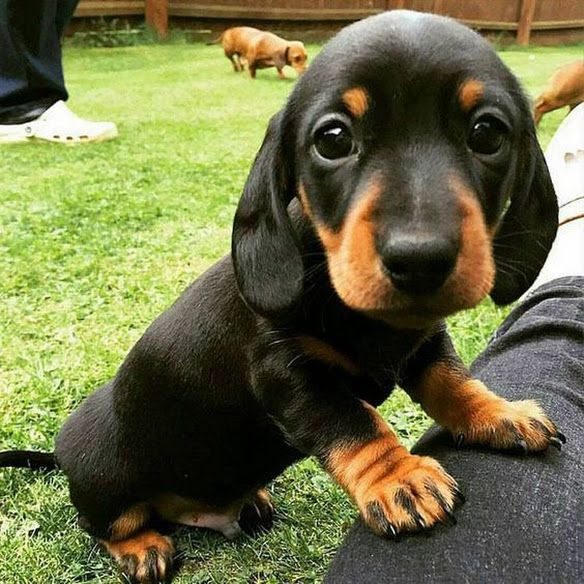 Doxie Puppy Puppies Cute Dogs Cute Baby Animals