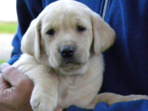 Labrador Retriever Puppy For Sale In Sacred Heart Mn Adn 43806 On Puppyfinder Com Gender Female Age Labrador Retriever Puppies Labrador Retriever Labrador