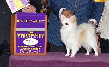 2015 Westminster Kennel Club Dog Show Ch Dazzles Touch Of Midas