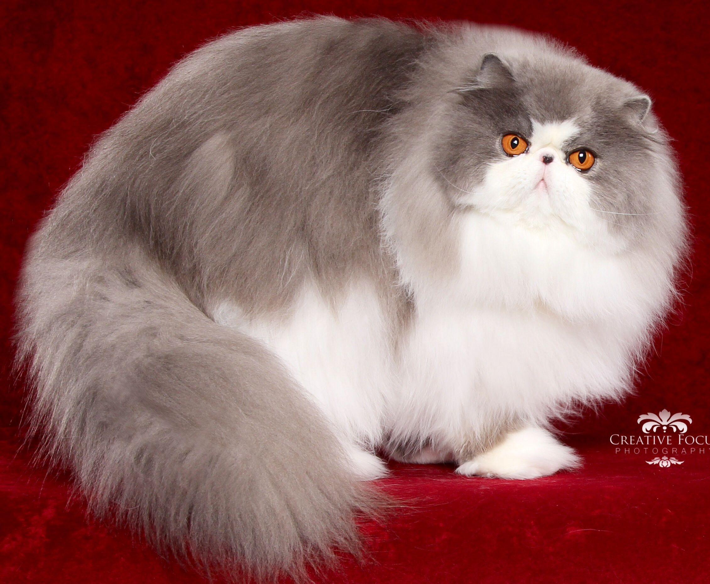 Beautiful Persian Pretty Cats Cute Cats And Kittens Cute Cats