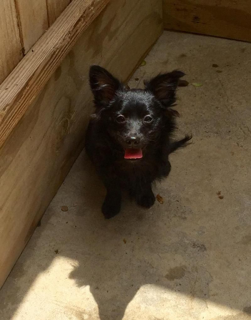 Pomeranian puppies for adoption in charlotte nc
