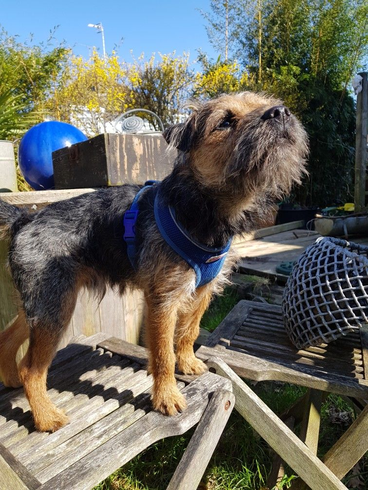 Pin By Mark Stelly On Border Terrier Border Terrier Dogs Brown Dog