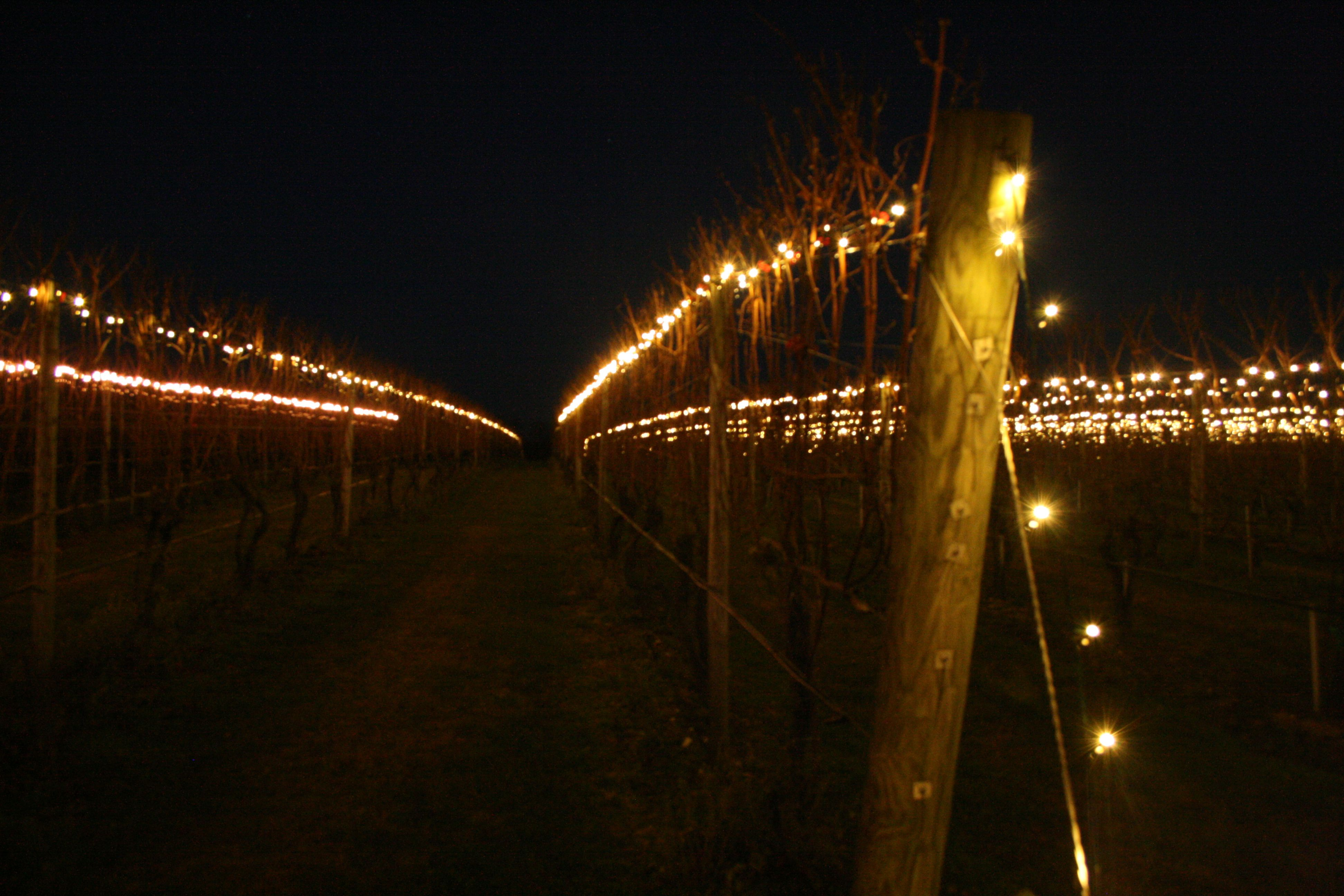 We Light Our Vines For Charity Lighting Of The Is One