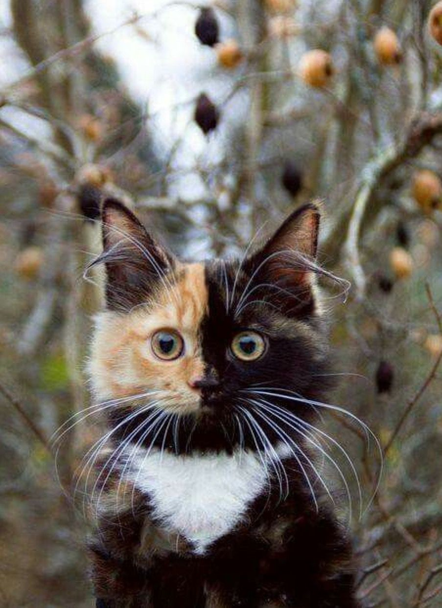 Pin by Verna Brock on Pretty kitty ) Two faced cat
