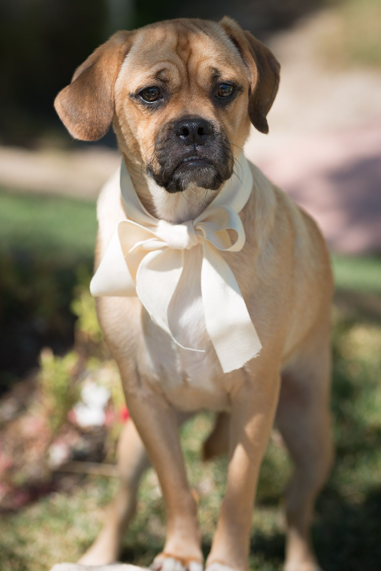 Benzsma the Puggle is up for adoption So Cute
