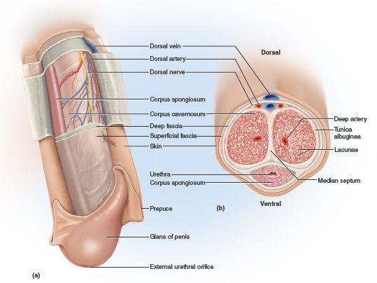 How penis in vagina