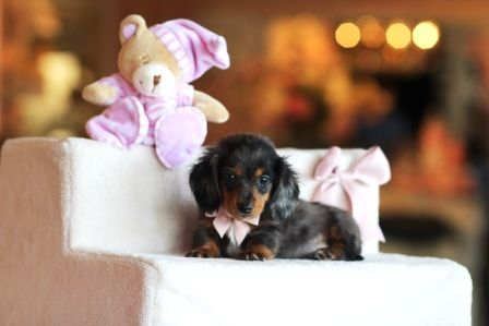 Debbie The Miniature Dachshund Call Now To Bring This Baby Home