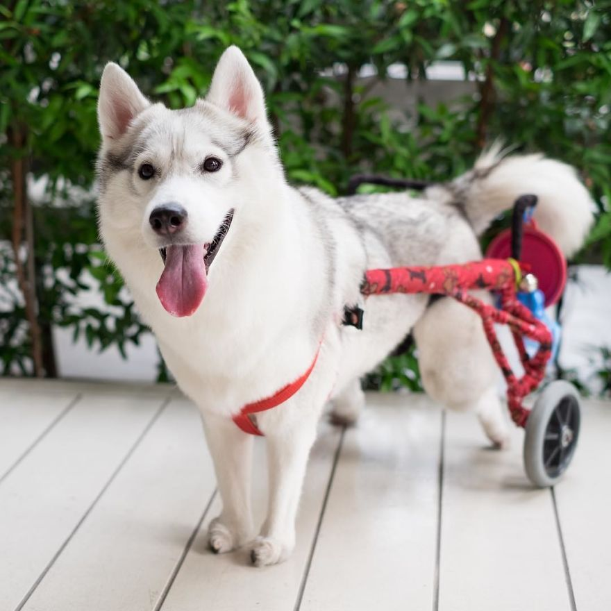 Husky Born Without Paws Gets Adopted And Becomes The Happiest Pup