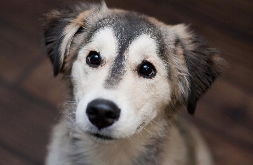 19 Breathtaking Husky and Golden Retriever Mixes Mix Cross