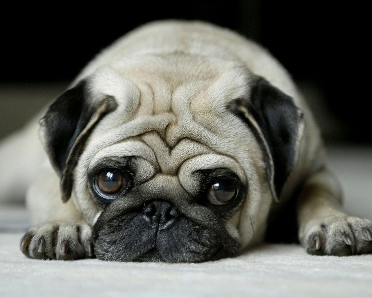 Pug (Carlino)