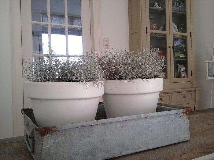 Calocephalus zilverstruikje home pinterest vensterbank raamdecoratie en bloempotten - Ideeen van interieurdecoratie ...