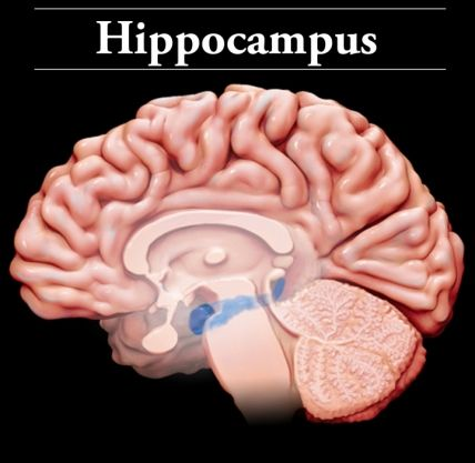 Hippocampus: Located in the medial temporal lobe, the ...
