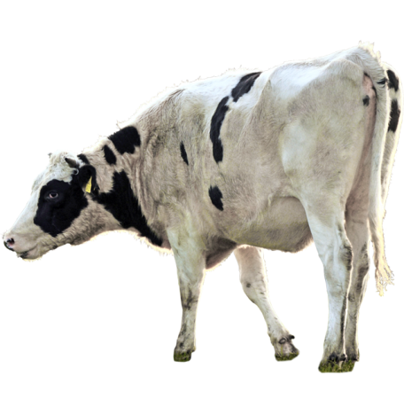 Blog images detourees 2 animaux vache normande cows pinterest normand vache et blog - Image animaux gratuite ...