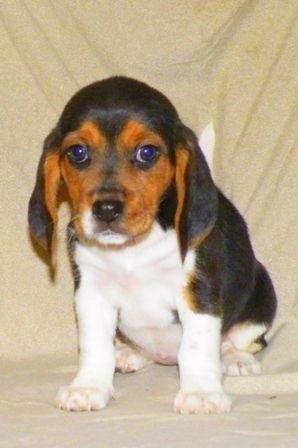 Beagles Beagle Breeders Beagle Puppy Beagle