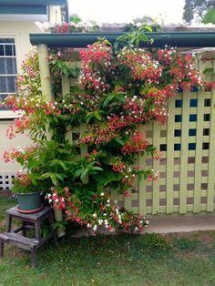 Rangoon Creeper Quisqualis Indica Climber Plants
