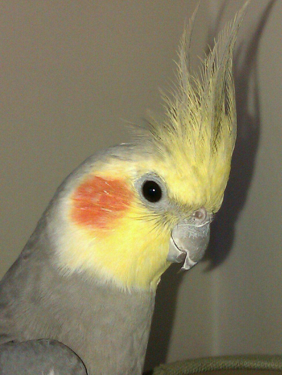 Male Grey Cockatiel. |...
