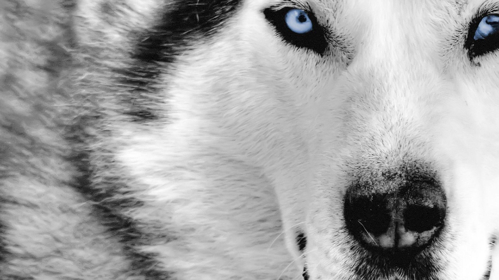Blue Wolf Eyes Wallpapers Hd Wallpaper Cave Wolf Eyes Eyes Wallpaper Hd Wallpaper