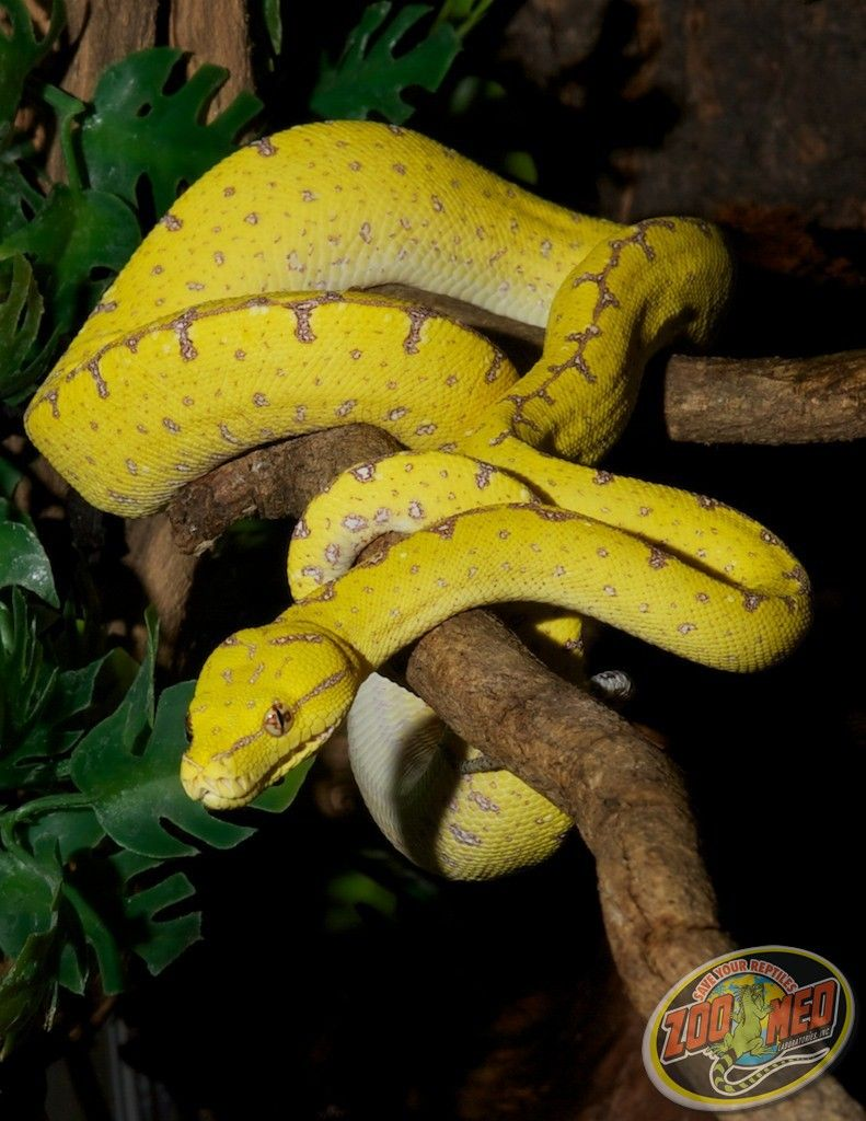 Green Tree Python at Zoo Med Labs.   Snakes   Pinterest   Reptilien
