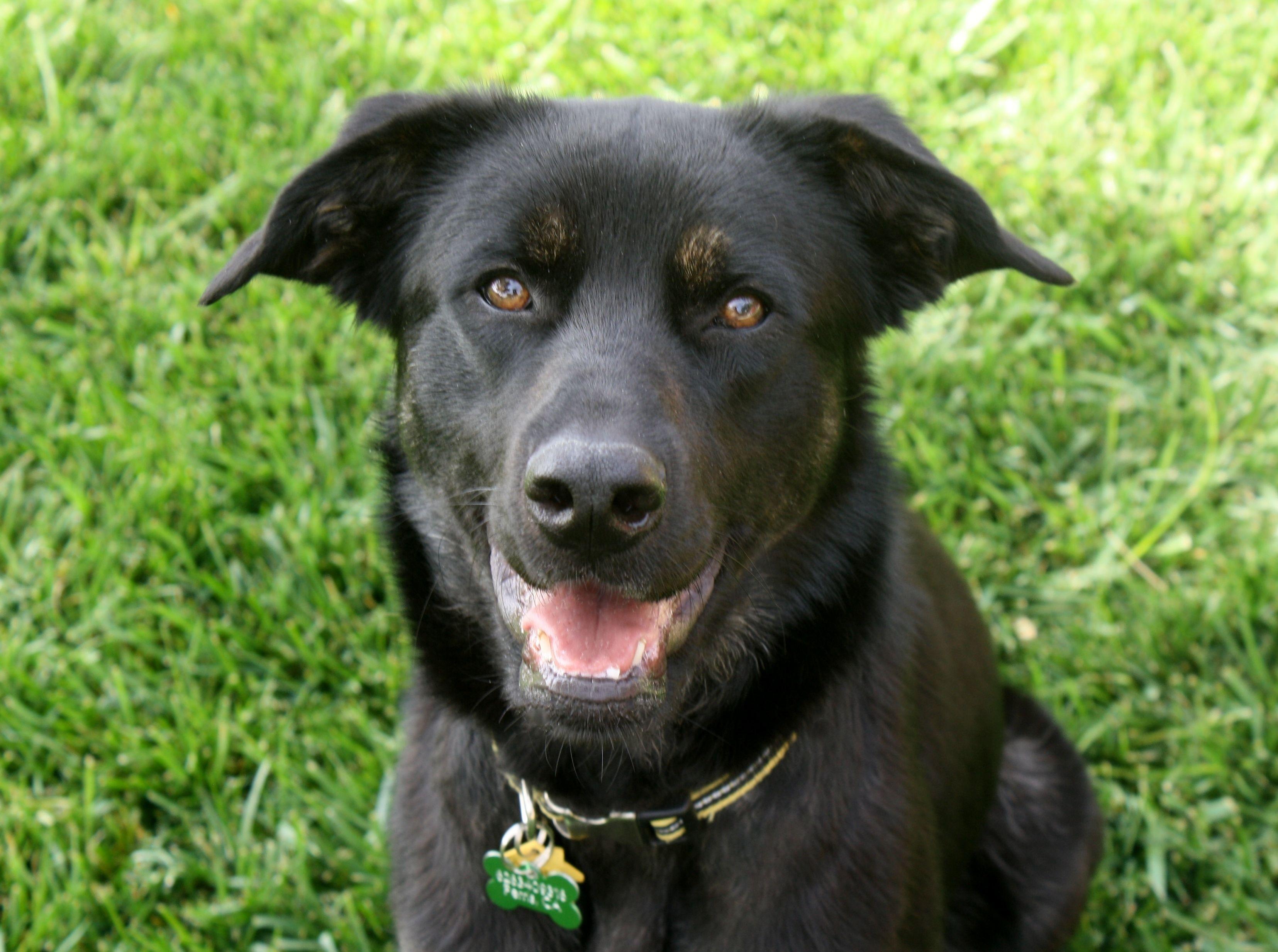 Adopt Oakley (female) on Petfinder Labrador retriever