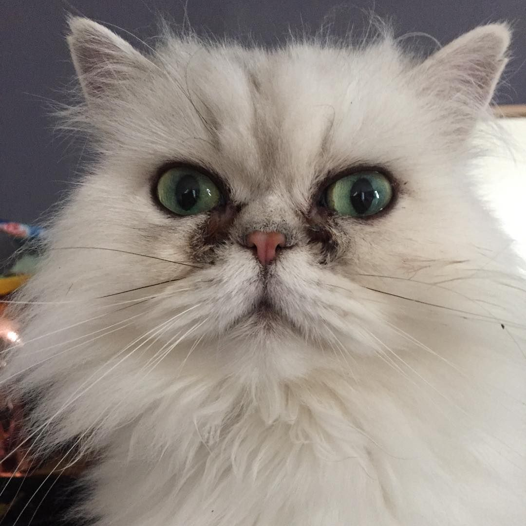 Dora trying to hypnotise me into opening the Dreamies.  #persiancatstagram #persian #PersianCat_Feature #persiancat #petsiancatsofinstagram #cat #silvercat #whitecat #kokoamore #kokoamorekittens #denmark #aarhus #copenhagen #aalborg #persianchinchilla #silverchinchilla #silverpersian #chinny #chinchilla #chinchillapersian #dollface #dollfacepersian #neko #catsofinstagram #catsofworld #crazycatlady