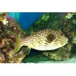 Stars And Stripes Puffer Saltwater Fish Puffers Water Animals Reef Tank Fish