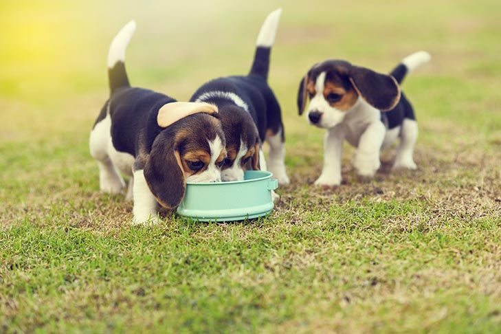 Beagle Dog Breed Information Dog Breeds And Other Animals