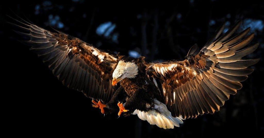 Terkeren 17 Gambar Wallpaper Burung Elang 3000 Gambar Burung Elang Hd Terbaru Infobaru Kertas Dinding Burung Elang Alam Desk Di 2020 Elang Botak Burung Elang Gambar
