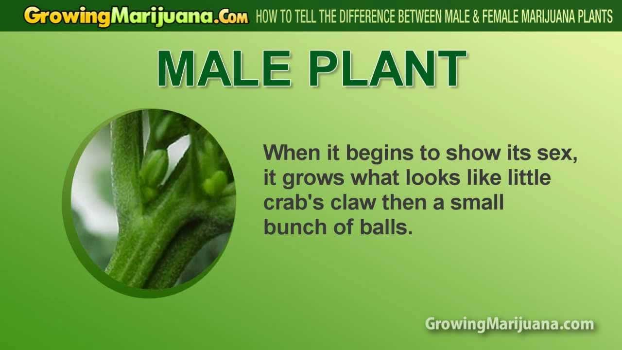 For that How to tell sex of marijuana very valuable