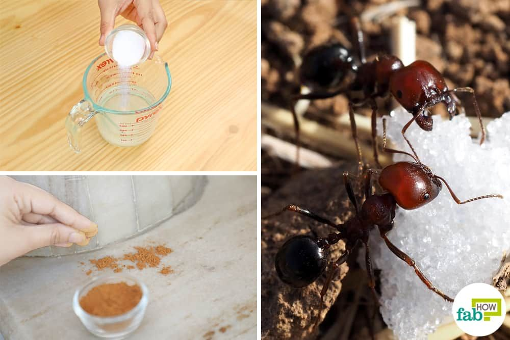 How to get rid of sugar ants 6 remedies that work every