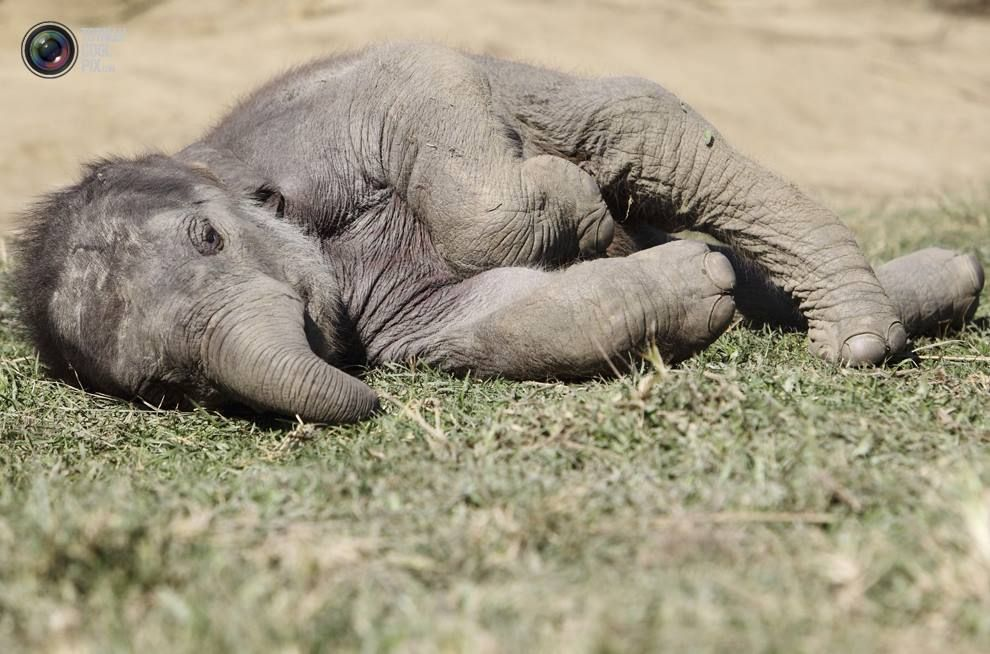 Afternoon nap, we all need them, even elephants