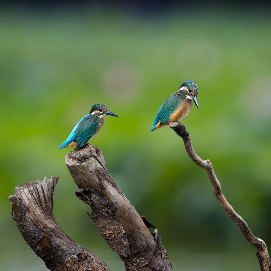 Baby kingfisher brothers by kantlawyer on 500px