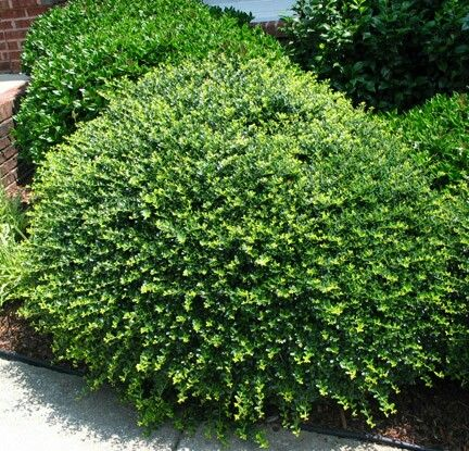 Heller Japanese Holly 2 3 Tall 3 5 Wide Evergreen No Blooms Plant In Any Lighting Condition In Acidic Soi Garden Shrubs Urban Garden Front Yard Landscaping