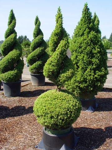 I Need These Topiary Plants Urban Garden Topiary Trees