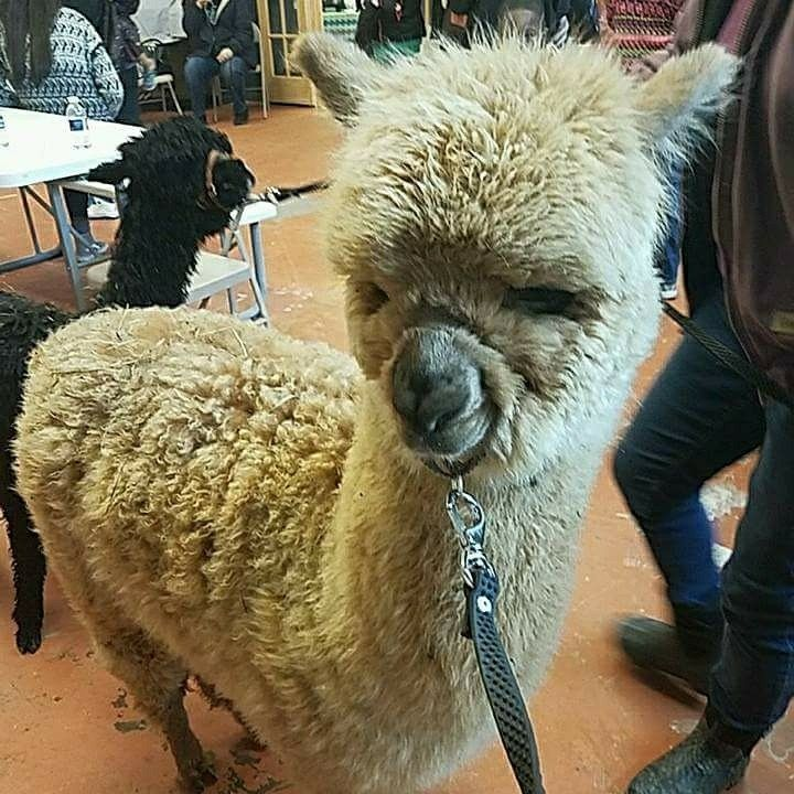 This fuzzy alpaca made a visit to DrCroom live animal