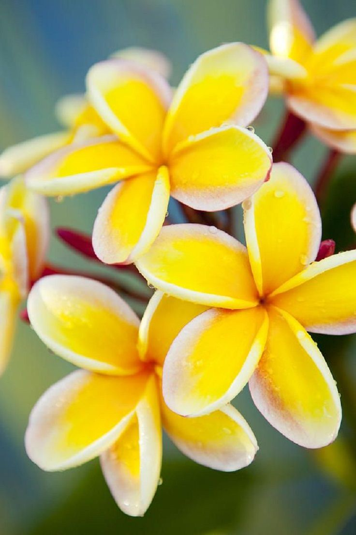 Top 10 Of The Most Fragrant Flowers In The World Top Inspired Plumeria Flowers Fragrant Flowers Beautiful Flowers