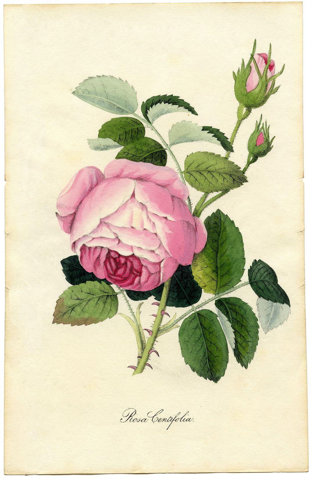 Vintage Printable Botanical Rose Superb! Vintage