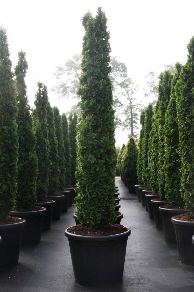 Thuja Occ Degroot S Spire 175 200 C80 Projects By