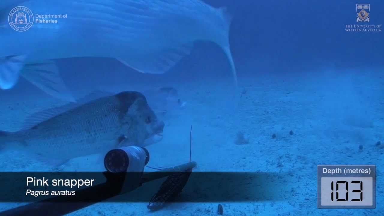 Underwater Video Of Fish Assemblages Using Baited Cameras In The Perth Canyon Western Australi Underwater Video The University Of Western Australia Underwater