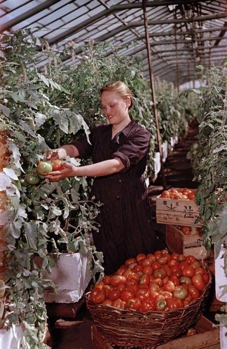 Сбор и сортировка урожая помидоров в подмосковном колхозе ...