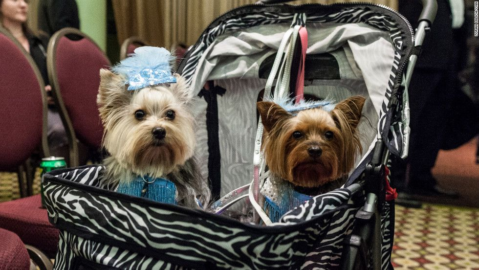 Photos Dogs On The Catwalk Cnn Com Dogs Pet Fashion Yorkie