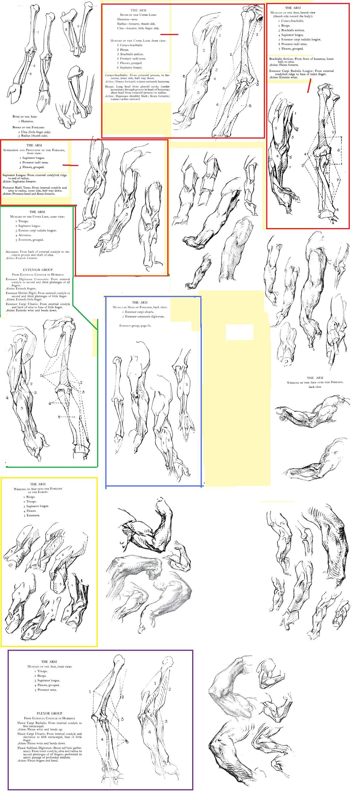 george bridgman constructive anatomy arm | George Bridgman ...