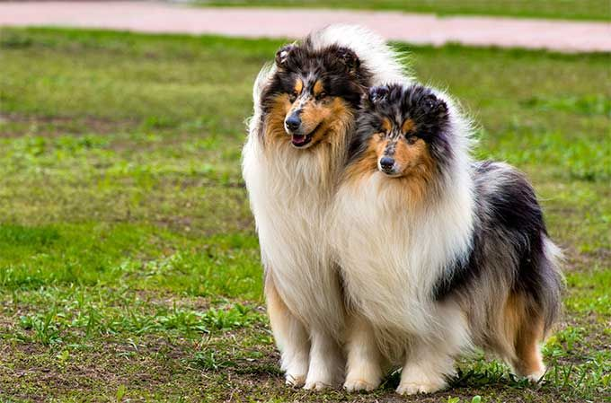 Collie Dog Breed Information Pictures Characteristics Facts Shetland Sheepdog Shetland Sheepdog Blue Merle Sheepdog